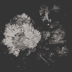 Produc(ed)-12782 (Poetic Medium) Tags: square stilllife produce blackandwhite kitcamghostbird hipstamatic ipod