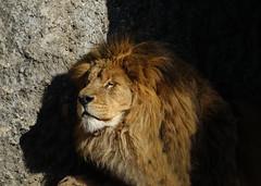 A royal nap (eric zijn fotoos) Tags: sontrx10m3 nederland holland noordholland artis leeuw lion nature natuur kat cat king koning dier animal zoo dierentuin