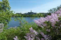 Stockholms vy (evisdotter) Tags: stockholmsvy lilacs syrenblommor syringavulgaris flowers landscape sooc waldemarsudde djurgården stockholm sweden