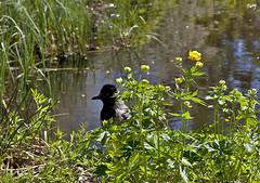 ¿Qué miras? Te veo... (svet.llum) Tags: pájaro corneja animal parque naturaleza paisaje primavera paisatge agua flor flores planta moscú rusia