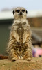 Pose for the camera! (_chloechappell) Tags: meerkat animal zoo fur brown wildlife wild wildlifepark yorkshire animals sharp selective selectivefocus dof depth depthoffield expression portrait canon canoncamera canon700d closeup naturephotography pretty colours