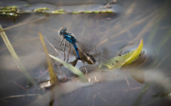 taking the Mrs for a dip (joannekerry) Tags: damsel fly insects macro water wildlife canon