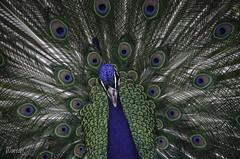 Pavo Real (MarianDiazRAM) Tags: 2018 aves elretiro madrid nikond5100 pavoreal primavera urbanbird