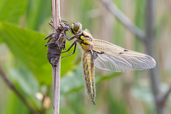 Four-spotted chaser freshly emerged (Steve Balcombe) Tags: insect dragonfly fourspotted chaser four spot odonata anisoptera libellula quadrimaculata teneral female exuvia rspb hamwall somerset levels avalon marshes uk