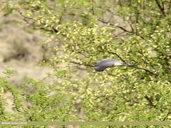 Common Hawk-cuckoo (Hierococcyx varius) (gilgit2) Tags: avifauna birds canon canoneos7dmarkii category commonhawkcuckoohierococcyxvarius fauna feathers geotagged imranshah jabbashah khushab location pakistan punjab species tags tamron tamronsp150600mmf563divcusd wildlife wings gilgit2 hierococcyxvarius