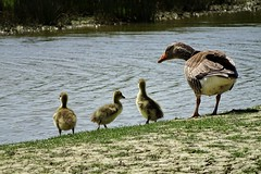 Oie cendrée et ses petits (chriscrst photo66) Tags: animal oiseau oie cendrée eau