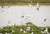 Hitchcock's Nightmare (Sara@Shotley) Tags: blackheadedgulls canadagoose birds nature burtonmerewetlands rspb nesting flight flying gulls wirral cheshire