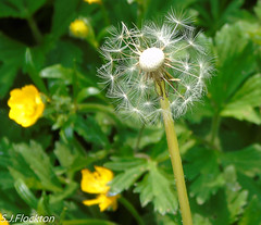 Dandelion (steveflockton1) Tags: dandelion weed field flowering