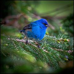 Indigo Bunting (Rodrick Dale) Tags: indigo bunting bird blue pine tree tiny