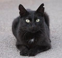 Stray Cat (Schwanzus_Longus) Tags: mallorca majorca island capdepera mammal animal feline common housecat house cat domestic stray black