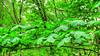 * Immersione in un verde brillante * Immersion in a shiny green * (argia world 1) Tags: agriturismolachiusa portovecchiostia arezzo toscana foresta forest alberi trees foglie leaves verde green argiagranuzzo