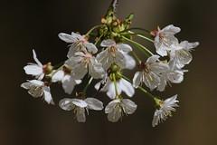 Rosacea (Wild Cherry) at Wildgrounds Nature Reserve, Gosport, Hampshire, UK (Art-G) Tags: bokeh rosacea wildcherry gosportwildgrounds naturereserve hampshire uk canon eos7dmkii 100400lisusm