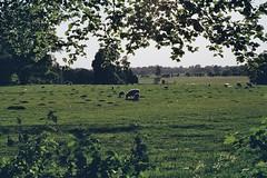 Spring Lambs (CristinaDiaconu23) Tags: springtime walk outside film minolta kodak 35mm nature green field sheep lamb spring analogue analog