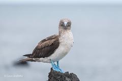Blue-footed Booby D85_1793-2.jpg (Mobile Lynn) Tags: booby birds wild bluefootedbooby nature bird fauna sula wildlife sulanebouxii postofficebayfloreanaisland galapagosislands ecuador ec coth specanimal ngc coth5 npc