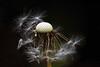 the time of the season... (ggcphoto) Tags: dandelion closeup nature seasons outdoor lowkey bokeh blur seeds dark background