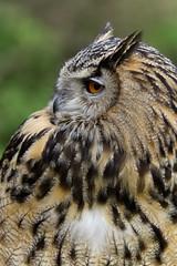 Indian Eagle owl (MV Photography (900,000 + Views)) Tags: canon 7d nature wildlife owl bird birdofprey eagle indian