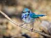 Little Boy Blue Singing (cadman_1963) Tags: splendid fairywren bird birdphotography