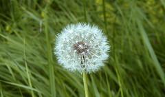 Lone dandelion (Alfredo Liverani) Tags: 7dayswithflickr 7dwf flora casio casioexp505 exilim p505