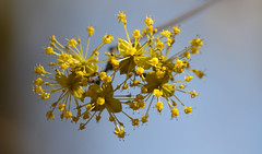A Lot Of Sunshine (AnyMotion) Tags: corneliancherry kornelkirsche cornusmas gelberhartriegel blossom blüte bokeh 2018 anymotion nature natur botanicalgarden botanischergarten frankfurt 7d canoneos7dmarkii spring frühling primavera printemps colours colors farben yellow gelb macro makro makroaufnahmen ngc npc