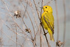 Warbler in the Reeds (soupie1441) Tags: yellow warbler hillmanmarsh conservation area nature wildlife nikon d7200 animal ontario