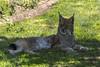 Northern Lynx (Innes2011) Tags: lynx northern cat scottish deer centre fife