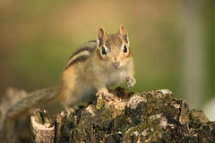 Eastern Chipmunk (NicoleW0000) Tags: chipmunk easternchipmunk animal cute pose stump forest woods outdoors nature wildlife photography ontario canada