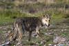 Lobo-ibérico (talvez híbrido) (Carlos A. Sousa) Tags: lobo ibérico