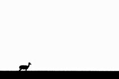 Fallow Deer ( Dama dama ). (Kristian Ohlsson) Tags: silhouette deer sunset wildlife nature blackandwhite bw iamnikon d500 200500 nikonkrille sweden bokskogen kristianohlssonphotography