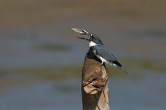 Martín Pescador, Ceryle alcyon, Belted Kingfisher (Dax M. Roman E.) Tags: martínpescador cerylealcyon beltedkingfisher