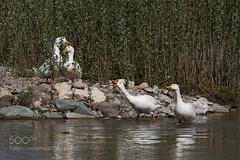 Weiße Gänse Weiße Enten (KevinBJensen) Tags: lake pond standing water riverbank wading waist deep surface floating river mute swan