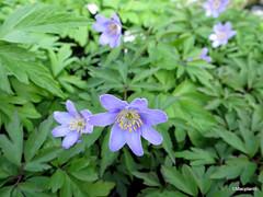 Anemone nemorosa 'Royal Blue'