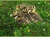 """Sweet Six-Pack (FernShade) Tags: vancouver """"britishcolumbia"""" canada """"stanleypark"""" """"ceperleymeadow"""" """"canadagoose"""" """"brantacanadensis"""" geese nature wildlife birds avian goslings behavior babies waterfowl """"waterbirds"""""""