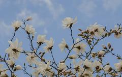 Magnolias in the Sofiero palace park (frankmh) Tags: tree blossom magnolia sofiero helsingborg skåne sweden