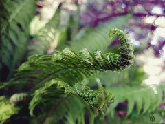 mighty young fern 💪🌿 (Ola 竜) Tags: fern green plant macro bokeh dof leaves leaf spring purple focus s7 manualfocus