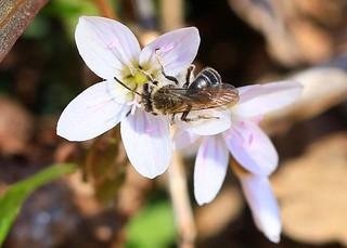 spring beauty Andrena (Andrena erigeniae) bee on spring beauty at Lake Meyer Park IA  854A2332