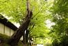 Approach to Zen temple (Teruhide Tomori) Tags: landscape forest tree green momiji maple kyoto japan japon zentemple tofukujitemple leaf spring 緑 新緑 モミジ 東福寺 東山 京都 日本 禅寺 春 庭園