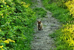 (Matteo Salvador) Tags: volpe fox cucciolo cub matteosalvador natura nature verde green sentiero path