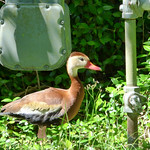Whistling Ducks thumbnail