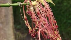 Box elder (Acer negundo) - male flowers close up - April 2018 (Exeter Trees UK) Tags: box elder acer negundo male flowers close up april 2018