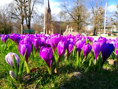 I'm chasing spring this weekend, this is Fredrikstad. Definitely more spring here than in Oslo. I think I will stay here and enjoy it 😁 Carpe Diem you all 😍 (evakongshavn) Tags: flora tinytreasuresinflora flower flowers purpleflower purple crocus fredrikstad norge norway spring springflowers springflower20172018 springishere springiscoming carpediem enjoyingthemoment 7dwf