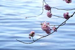 Tschüss Hamburg (Rosmarie Voegtli) Tags: binnenalster hamburg flowers spring water alster