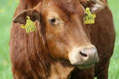 Zebu Little Red (excellentzebu1050) Tags: zebu zebucattle miniaturezebu africancattle animal animalportraits closeup cattle outdoor farm field coth5