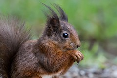 Red Squirrel close up. (beverleythain) Tags: nuts hands eartufts tufts treedweller claws fur trees forest wildlife nature animal scotland native squirrel redsquirrel