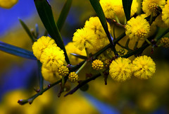 Mimosa (maelan_roman) Tags: flower mimosa yellow bloom blooming blowing botanical branch bud closeup floral flora fluffy fragrant leaf nature plant soft spring springtime vegetation twig image photography nobody horizontal textured selectivefocus focusonforeground sweden