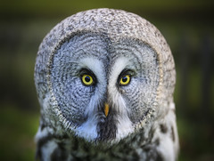 The stare out (julie cavell) Tags: greatgreyowl owl feathers detail birdsofprey owlportrait animalportrait birdportrait yelloweyes eyes birdsindetail