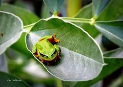 Rela comum - Hyla arborea (verridário) Tags: macro nature animal batraquio rela green naturaleza natureza sony ra anfibio foto photo verde little pequena 小 小さい piccolo petite