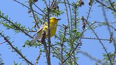 prothonotary warbler--Explore! (CheepShot (Thanks for 1M Views)) Tags: pentax k3 quantaray 70300 di ld