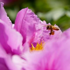 Im Anflug (Carsten Weigel) Tags: makro plants flowers nature carstenweigel macro pflanzen blumen blüten panasonicgx8 panasonic425mmf17 biene bee insekt insect