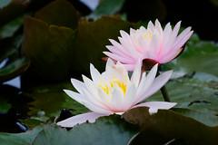 荷花 - Lotus (basaza) Tags: canon 30d dxo