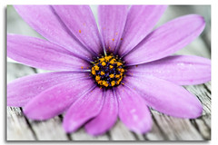 Daisy with Pollen (Bear Dale) Tags: daisy with pollen ulladulla south coast new wales australia nikon d850 nikkor afs micro 105mm f28g ifed vr bear dale flower purple blue yellow wood driftwood petals camera lens flickr african daisys